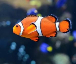 Los peces como Nemo pueden nadar grandes distancias cuando son bebés