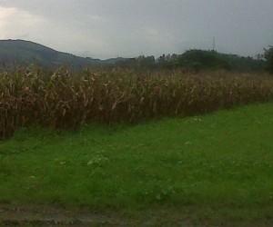 Cosechadas siete hectáreas de maíz blanco en Aragua