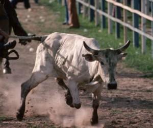 Lanzan una web que comercializa semen de toro
