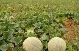 Exportación de melón y patilla en Paraguaná abre caminos a la diversificación económica