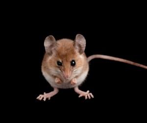Descubren una nueva especie de ratón en Chile